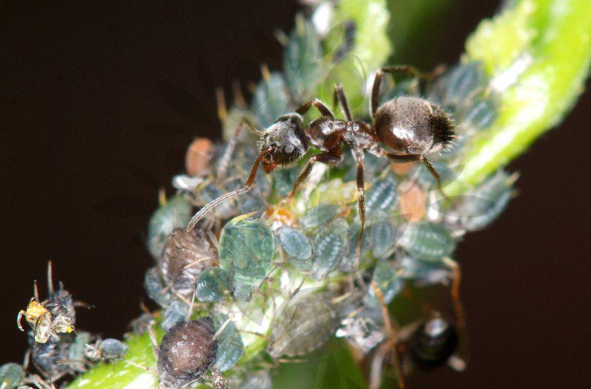 Symbióza mravenec se mšicí