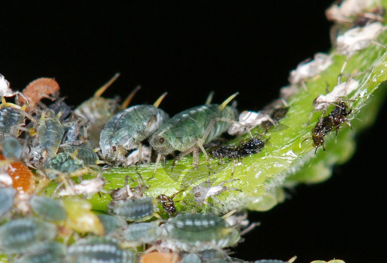 Symbióza mravenec x mšice
