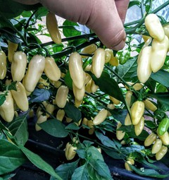 Sazenice Habanero White Long