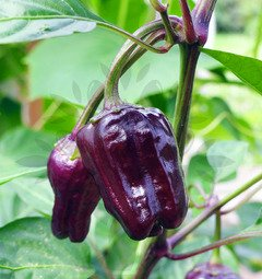 Black Scorpion Tongue