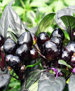 Black Pearl | semena chilli 10 ks